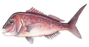 Snapper Fishing Tips