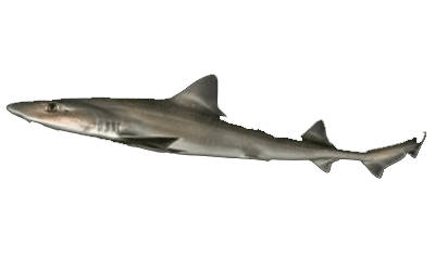 How To Catch Gummy Sharks – Best Pro Fishing Tips