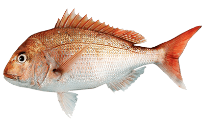 How To Catch Snapper – Best Fishing Tips