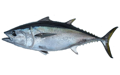 How To Catch Tuna – Best Pro Fishing Tips